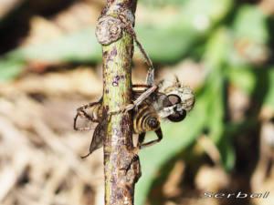 Laphria-marginata2-web