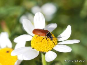 Omophlus-lepturoides1-web