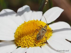 calocoris-roseomaculatus1-web