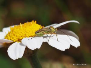 calocoris-roseomaculatus2-web
