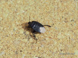 cydnus-aterrimus1-web