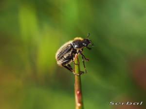 hymenoplia-sp-web