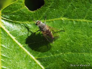 thereva-nobilitata1-web