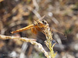 trithemis-kirbyi-hembra-web