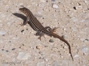 acanthodactylus-erythrurus1-web