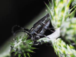 agaphantia-cardui-suturalis1-web