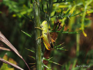 chorthippus-apicalis1-web