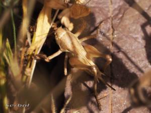 decticus-albifrons2-web