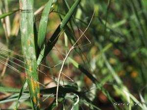 leptynia-caprai-web