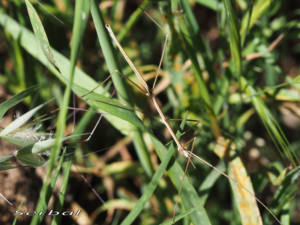 leptynia-caprai2-web