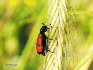 mylabris-quadripunctata2-web