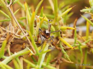 bursinia-genei2-web