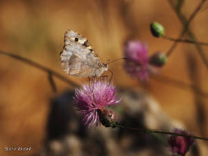 chazara-briseis-hembra-web