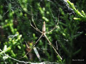 holocnemus-caudatus1-web
