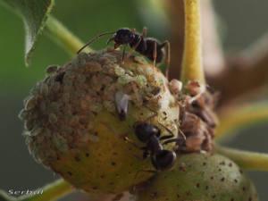 hormigas-cuidando-pulgones-web