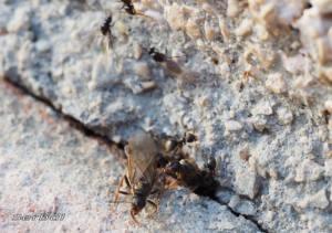 lasius-niger1-web