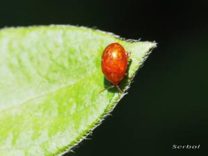 sphaeroderma-testaceum-y-rubidum-web