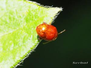 sphaeroderma-testaceum-y-rubidum2-web