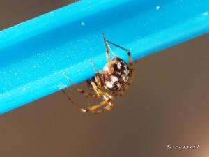 steatoda-triangulosa1-web