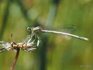 platycnemis-latipes-web