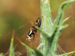 urophora-cf-mauritanica2-web